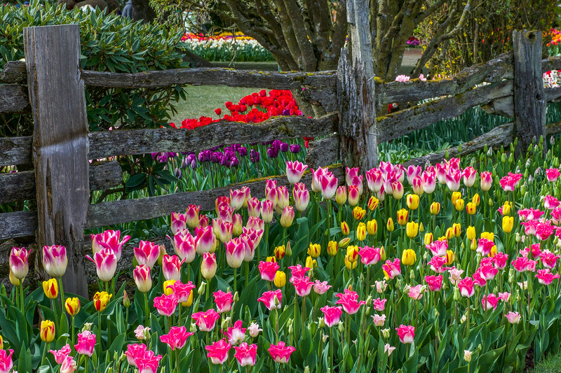 Tulip Splendor