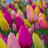 Tulip Harmony
