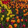 Tulip Brilliance