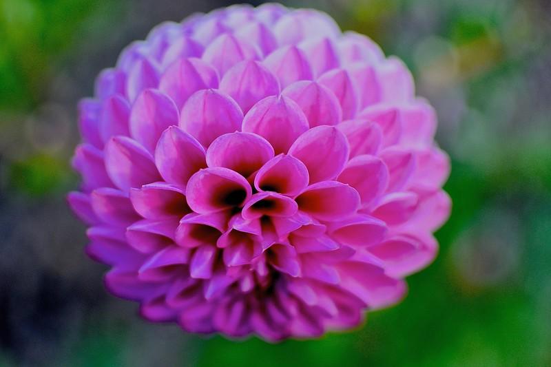 Susan's Pink Pompon