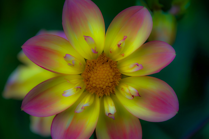 Rosy Sunshine