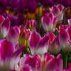 Enchanting Tulips