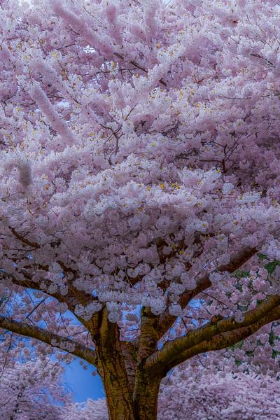 Cherry Blossom Splendor