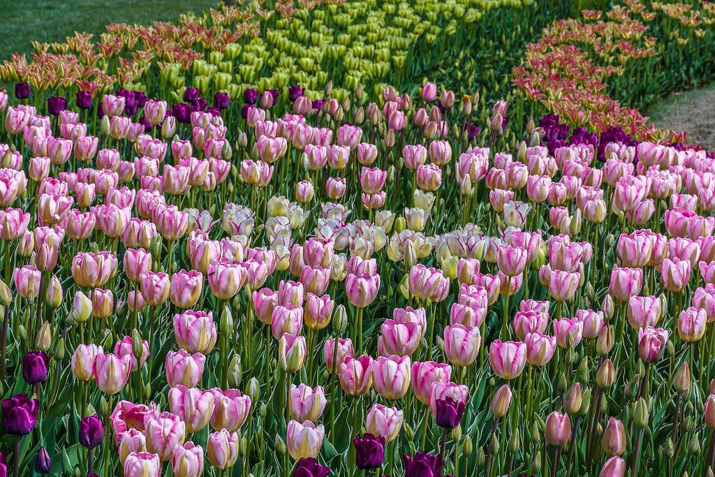 Tulip Impressionism