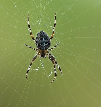 7-legged garden spider at kitchen window