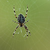 7-legged garden spider at kitchen window
