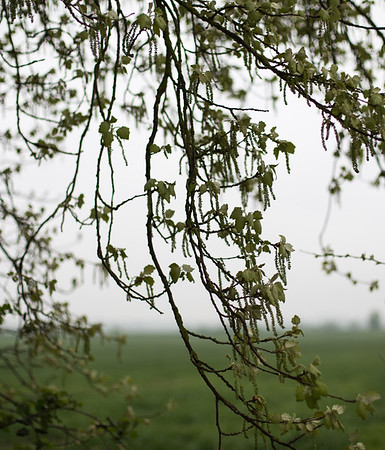 Catkin curtain on Willingham-Over bridleway, nr Cambridge