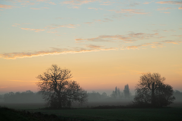Ash trees at first light