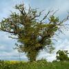 Blasted oaks near Gun's Lane, near Histon, Cambridge
