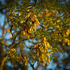 Autumn ash, leaves and fruit in early morning sun along Iram Drove, Willingham, Cambridgeshire