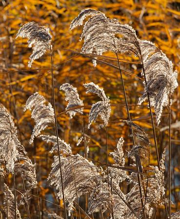 Autumn reeds on a December morn