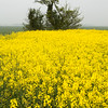 Oilseed rape brightens a dull day on the Willingham to Over bridleway