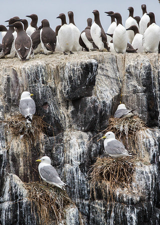 Guillemot and kittiwake tenements