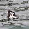 Guillemot and chick at sea