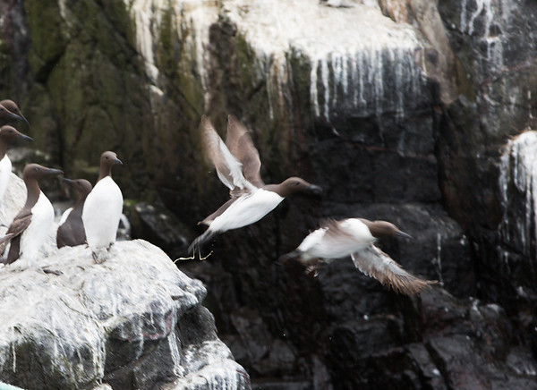 Guillemots scrambling for take-off