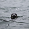 At sea seal