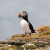 Puffin returns with fish