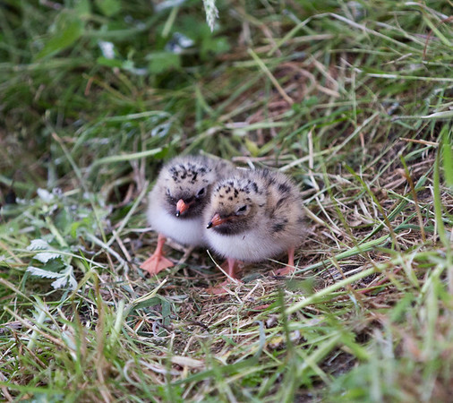 Tern chicks