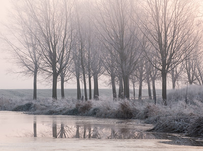 Frosted willows on a misty morning