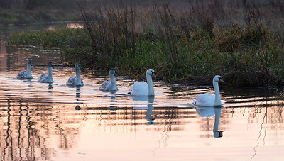 Swan family at dawn, River Great Ouse near Queenholme