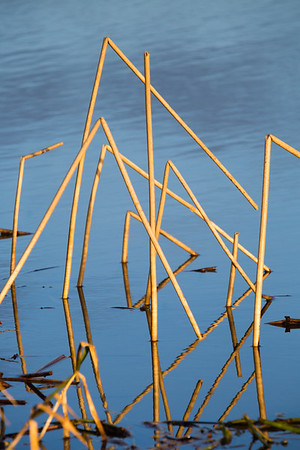 Bent reed stalks, River Great Ouse, 25 January 2015