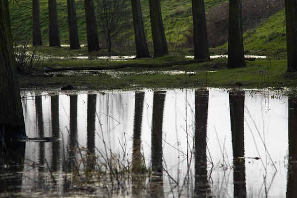 Willow trunk reflections, River Great Ouse near the Causeway, 25 January 2015.