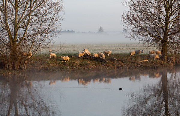 Sheep and coot - Middle Fen - 7 April 2015