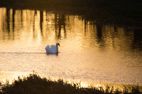 Mute swan at sunrise, River Great Ouse - 25 January 2015