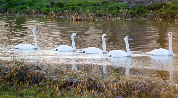 Family of 5 mute swans out for a morning paddle. River Great Ouse, 25 January 2015