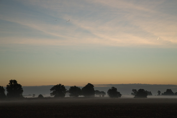 Mallards misty autumn dawn flight over The Norlands, next to the River Great Ouse, near Willingham