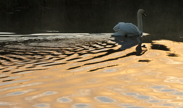 Sunlit swan wake on River Great Ouse
