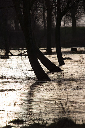 Willow copse in the floods, River Great Ouse - 25 January 2015