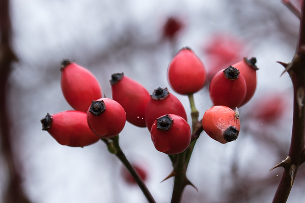 Dog rose hips glisten on a damp winter's morning