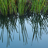 Reeds and reflections on River Great Ouse near Queenholme Farm, Cambridgeshire