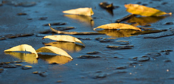 Yellow leaves on frozen pond