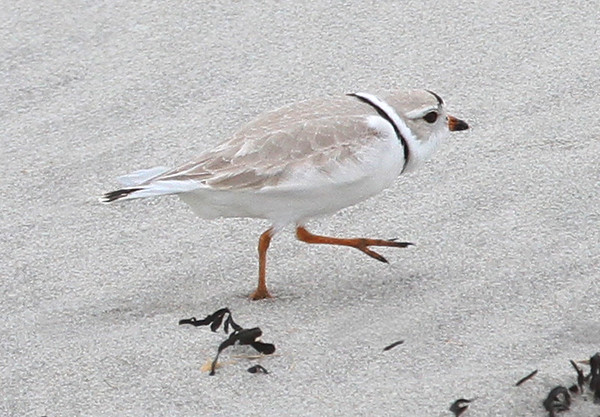 "MIKE SPRINGER/Staff photo<br /> A piping plover, a bird classified as ""threatened"" under the Endangered Species Act, walks Tuesday on Good Harbor Beach in Gloucester. The bird was spotted in the same area where a pair of piping plovers established a nest last spring.<br /> 4/10/2018"