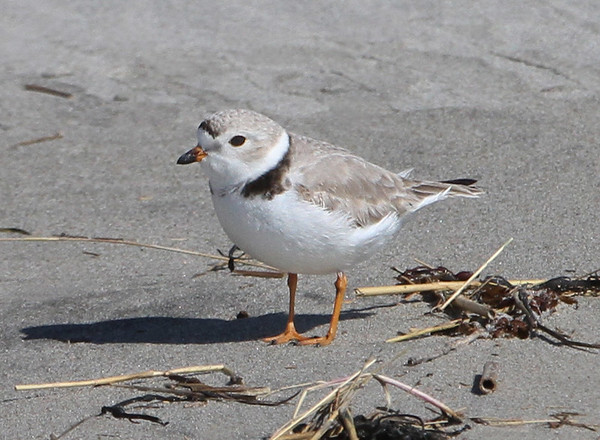 "MIKE SPRINGER/Staff photo<br /> One of a pair of piping plovers spotted Wednesday morning on Good Harbor Beach in Gloucester. The plovers, a protected species designated as ""threatened"" in Massachusetts under the federal Endangered Species Act, appear to be establishing a nest on the beach.<br /> 4/18/2018"