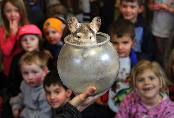 "MIKE SPRINGER/Staff photo<br /> ""Seamus,"" a South American chinchilla, looks out from its bowl of dust during a ""Curious Creatures"" presentation Tuesday at the Manchester Public Library. Chinchillas like clean their fur by rolling around in dust.<br /> 4/17/2018"