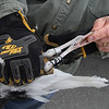 MIKE SPRINGER/Staff photo<br /> Erik Amati of the Massachusetts Division of Fisheries and Wildlife shows a pair of bands around the legs of a dead seagull he found Tuesday on Good Harbor Beach. The metal band is from the U.S. Geological Survey bird banding program, requesting that data concerning the bird be forwarded to a laboratory in Laurel, Maryland. <br /> 4/10/2018