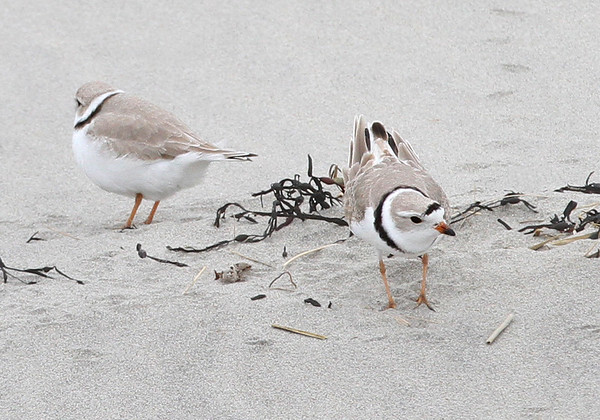 """MIKE SPRINGER/Staff photo<br /> A pair of piping plovers, a species classified as """"threatened"""" under the Endangered Species Act, walk Tuesday on Good Harbor Beach in Gloucester. The birds were spotted in the same area where a pair of piping plovers established a nest last spring.<br /> 4/10/2018"""