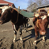 ANDREA HOLBROOK/Staff photo/ Alprilla Farm's 4-year-old oxen, Clay and Cedar, were yoked up Tuesday morning to get a little exercise. The Essex farm's resident teamster Sophie Courser said the Red Durham shorthorns will soon start work ofr the season. Alprilla uses the oxen in the winter to pull out firewood and fence posts, and in the summer to haul loads around the farm, harrow small patches, and cultivate one-row crops such as peas, beans and brussels sprouts. They can go where a tractor cannot.