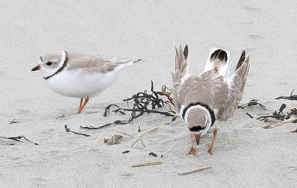 "MIKE SPRINGER/Staff photo<br /> A pair of piping plovers, a species classified as ""threatened"" under the Endangered Species Act, walk Tuesday on Good Harbor Beach in Gloucester. The birds were spotted in the same area where a pair of piping plovers established a nest last spring.<br /> 4/10/2018"