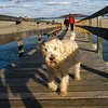 Gloucester: Mr. Winston walks ahead of his owners, Claudine Anastasi and Matt Sydlowski of Gloucester, following their walk at Good Harbor Beach yesterday afternoon. Photo by Kate Glass/Gloucester Daily Times Tuesday, November 18, 2008