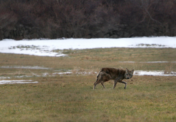 Rockport: A large coyote roams around Waring Field Friday afternoon. Several large coyotes have been reported in Rockport causing many people to fear for their small pets. Mary Muckenhoupt/Gloucester Daily Times
