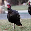 Gloucester: Turkeys roam around Raymond Street in Magnolia in search of food. Photo by Kate Glass/Gloucester Daily Times Tuesday, December 16, 2008