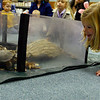 Gloucester: Emma Christopher, 6, gets a closer look at a wood turtle during an Audubon presentation on animal habitats at the Sawyer Free Library on Monday. The children also saw a skunk and hawk. Photo by Kate Glass/Gloucester Daily Times Monday, November 10, 2008