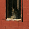 Rockport: A cat sits in the window of a barn at Sea View Farm to get warm in the sun Thursday afternoon.  Mary Muckenhoupt/Gloucester Daily Times