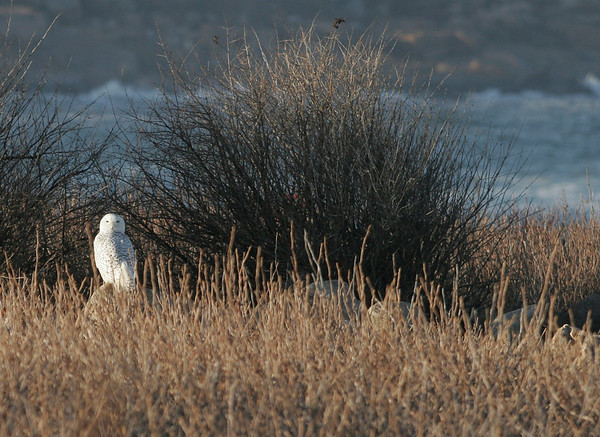 Rockport: A snowy owl perches on a rock near Loblolly Cove in Rockport. The owls have been spotted all over Cape Ann lately. Photo by Kate Glass/Gloucester Daily Times Monday, December 1, 2008