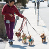 DESI SMITH/STAFF Photo   Sophia Montoya, of Rockport takes some little dogs for a walk down Broadway Thursaday afternoon for a friend in Rockport.    April 24,2014