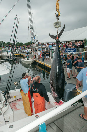 DESI SMITH/Staff photo.  Biggest catch of the Day on Sunday, Captain Anthony Caturano of the Tonno out of Gloucester, along with Captain Mark Kooskal and Dan Reddy pose with a 588 lb Blue Fin Tuna, before a large crowd at the Cape Ann Marina Sunday afternoon at the 3rd Annual Bluefin Blowout Tuna Tournament.   August 2,2014